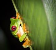 Древесная лягушка наблюданная красным цветом Стоковое фото RF