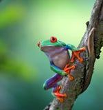 Древесная лягушка наблюданная красным цветом, callydrias Agalychnis Стоковое фото RF
