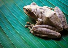 Древесная лягушка на больших зеленых лист Стоковые Изображения RF