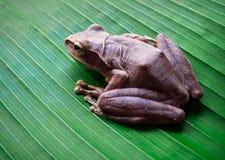 Древесная лягушка на больших зеленых лист Стоковые Фото