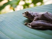 Древесная лягушка на больших зеленых лист Стоковые Фотографии RF