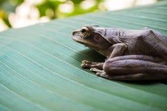 Древесная лягушка на больших зеленых лист Стоковое Изображение RF