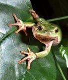 Древесная лягушка на зеленых лист, подготавливая поскакать Стоковые Изображения RF