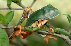 Древесная лягушка обнажанная тигром стоковые фото