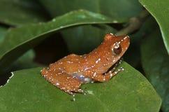 Древесная лягушка циннамона Стоковая Фотография RF