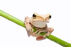 Древесная лягушка Стоковая Фотография RF