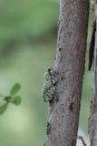 Древесная лягушка Стоковые Изображения