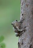 Древесная лягушка Стоковое фото RF