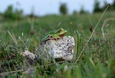 Древесная лягушка Стоковое Изображение