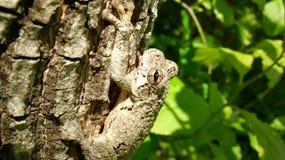 Древесная лягушка Camoflage Стоковое фото RF