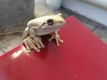 Древесная лягушка ` s Peron Стоковые Изображения RF