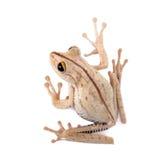 Древесная лягушка ` s Troschel, calcaratus Hypsiboas, на белизне Стоковое Фото