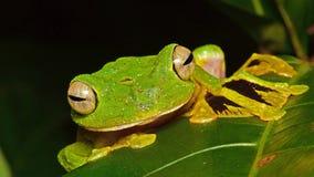 Древесная лягушка Wallaces Стоковое Изображение RF
