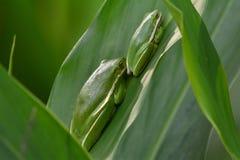 Древесные лягушки Стоковые Изображения