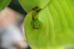 Древесные лягушки Стоковые Фото