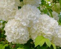 Древний белый Hortensia цветет крупный план в саде стоковая фотография