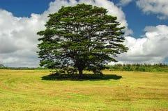 Древний дуб Стоковое Изображение RF