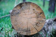 Древовидная структура колец дерева стоковые фотографии rf