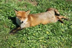 дремая красный цвет лисицы Стоковые Изображения RF