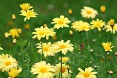 дробит желтый цвет на участки marguerites Стоковые Изображения