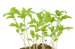дробит saplings на участки молодые Стоковое фото RF