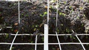 Дробилка Stemmer задавливая виноградины на винодельне сток-видео