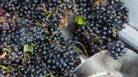 Дробилка Stemmer задавливая виноградины на винодельне видеоматериал