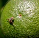 Дрозофила на цитрусе Стоковая Фотография RF