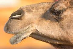 Дромадер верблюда или one-humped верблюд, эмираты паркуют зоопарк, Dh Abu Стоковая Фотография RF
