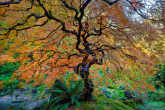 Другое дерево японского клена в осени Стоковое Изображение RF