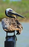 Другое представление пеликана Стоковое Изображение