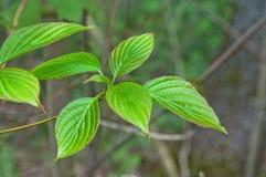 Друг-листанные листья кизила Стоковое Изображение RF