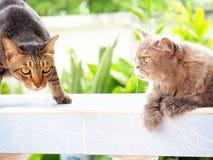 Друг между черным тайским котом и серым percian котом Стоковое Фото