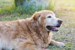 Дружелюбная собака золотого retriever отсутствующий запомнена и ослаблен в саде стоковое изображение rf