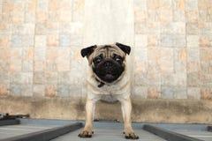 Дружелюбное положение собаки мопса щенка к загородке и усмехаться на незнакомце по мере того как он хочет идти вне и играть вне д стоковые изображения rf