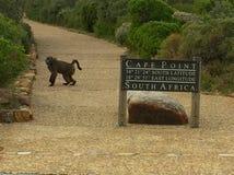 Дружелюбный павиан на национальном парке в пункте накидки, Южной Африке стоковые фотографии rf