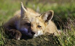 Дружелюбный Fox детенышей Стоковая Фотография
