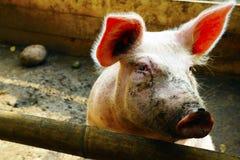 Дружелюбная свинья красочная и красивая стоковое фото rf