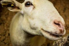 Дружелюбная улыбка козы Стоковые Фото