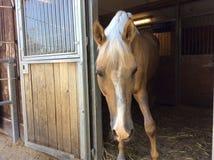 Дружелюбная Palomino типа лошадь в конюшне Стоковая Фотография RF