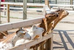 Дружелюбные козы на загородке Стоковое Изображение RF