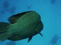 Дружелюбные рыбы wrasse Наполеона видеоматериал