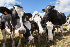 Дружелюбные любознательные черно-белые молочные коровы Гольштейна Стоковая Фотография