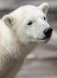 Дружелюбный полярный медведь Стоковое фото RF