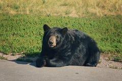 Дружелюбный черный медведь Стоковое Изображение RF