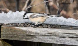 Дружелюбный Chickadee стоковое изображение
