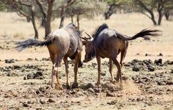 Друзья антилопы гну Стоковые Фотографии RF