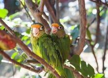 Друзья длиннохвостого попугая Стоковое Изображение RF