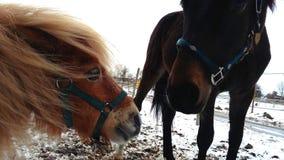 Друзья лошади Исландии и пони Shetland Стоковые Фотографии RF
