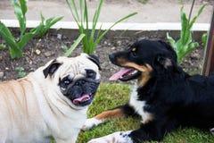 Друзья домашних собак игры собаки мопса Стоковые Изображения RF